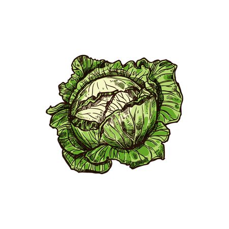 Green leafy cabbage head isolated vegetable. Vector headed raw vegetarian food, whole white cabbage dense-leaved head. Savoy cabbages hand drawn, healthy organic vegetable, green veggie with leaves Vetores