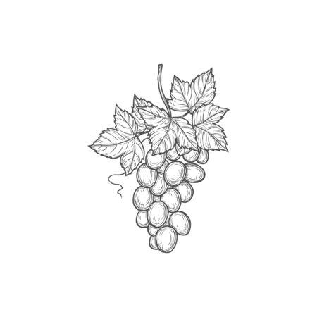 Grapes bunch isolated sketch vector icon, engraving symbol. Sweet berries monochrome emblem, sign Ilustração Vetorial
