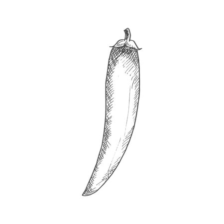 Chili pepper isolated vegetable sketch. Vector Jalapeno or Cayenne, spicy vegetable food condiment