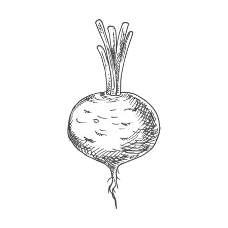 Beetroot food ingredient isolated sketch. Vector vegetable, whole monochrome beet root