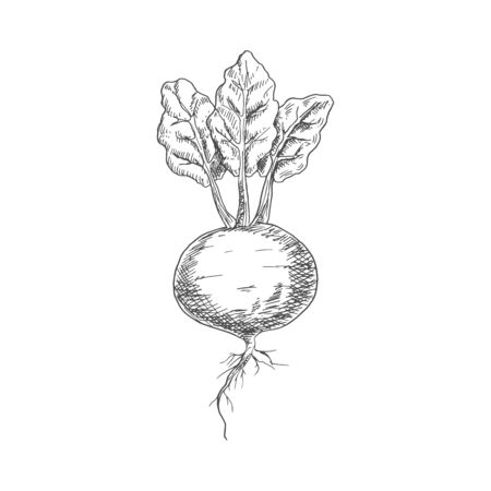 Beetroot food ingredient isolated sketch. Vector vegetable, whole monochrome beet root ベクターイラストレーション