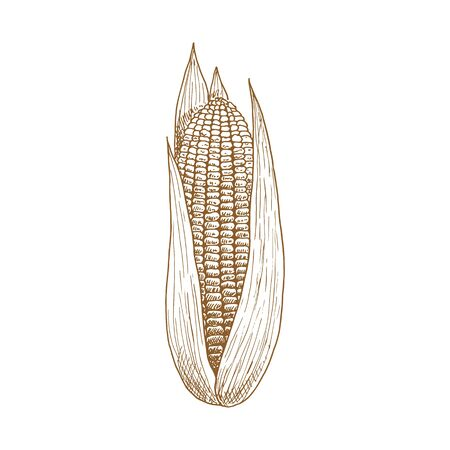 Maize corn cob with leaves isolated vector sketch. Vector sweetcorn vegetarian food, cereal grain