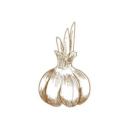 Garlic bulb isolated vegetable sketch. Vector whole head of raw bulbous plant Ilustração