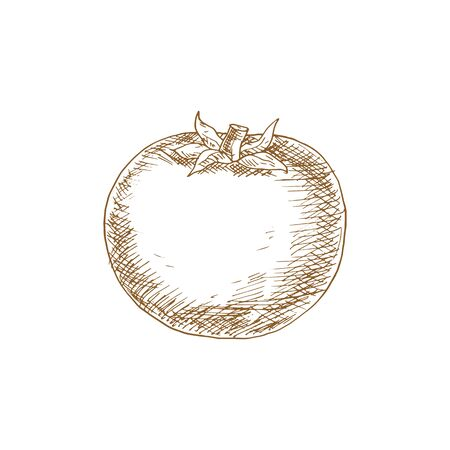 Tomato isolated sketch icon. Vector red berry vegetable, cherry tomato dieting food