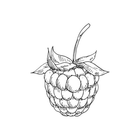 Raspberry or blackberry monochrome sketch. Vector summer berry, vegetarian food dessert