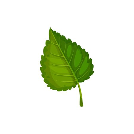 Green birch leaf isolated leafage sign. Vector aspen or elm foliage, alder plant symbol 矢量图像