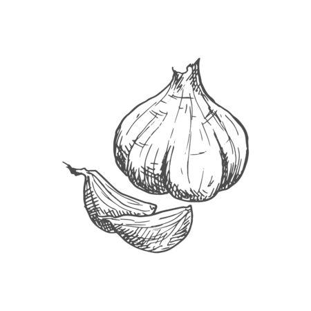 Garlic bulb isolated vegetable sketch. Vector hand drawn pungent-tasting organic spice condiment Ilustração