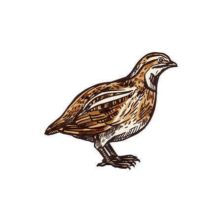 Grey partridge bird with yellow and brown feathers on wing and breast. Partridge bird isolated sketch, hunting sport open season design