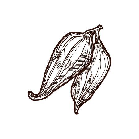 Cyclanthera pedata exotic vegetable sketch with green fruit of caigua plant. Whole and half of slipper gourd with black seed for exotic vegetarian food and farm market packaging label design