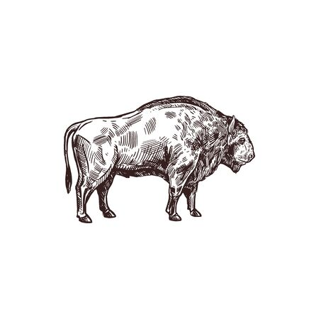 Hunting open season sketch poster for hunter society or hunt club. Vector isolated wild buffalo ox or bison bull for wild animal hunt adventure