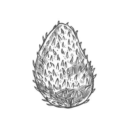Soursop exotic fruit vector . Botanical design of tropical custard , guanabana or graviola of Annona muricata fruit plant for juice, food or farmer market and agriculture design Illustration