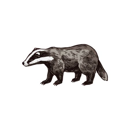 Badger animal sketch, hunting open season or hunter society and hunt club theme. Vector isolated wild forest badger, animal hunt adventure