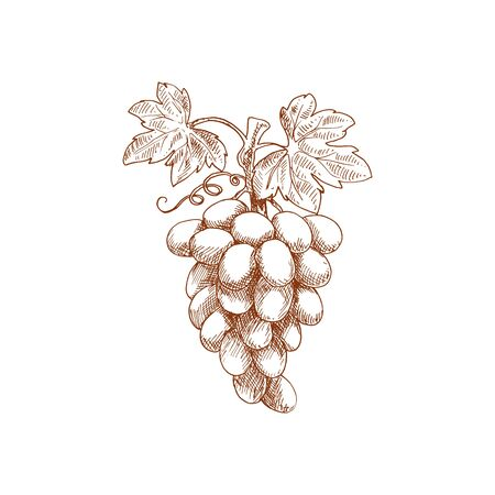 Grapes fruit sketch. Vector isolated organic natural farm fruits, grapes vine