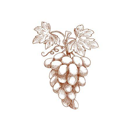 Croquis de fruits de raisins. Fruits de ferme naturels biologiques isolés de vecteur, vigne de raisins