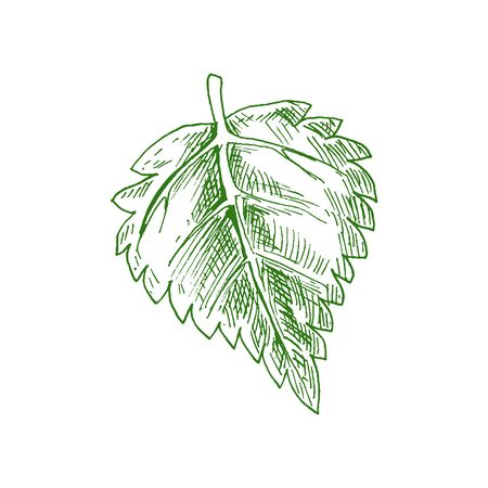 Aspen or elm, alder leaf isolated hand drawn sketch. Vector green foliage, birch tree leafage 矢量图像