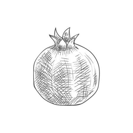 Pomegranate isolated sketch fruit. Vector forbidden fruit in the Garden of Eden, symbolizes fruitfulness
