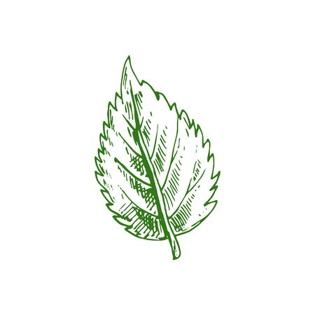 Alder leaf isolated hand drawn sketch. Vector birch tree leafage, aspen or elm green foliage, 矢量图像