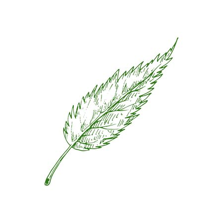 Ash tree leaf isolated outline sketch. Vector elm leafage, botanical hand drawn plant