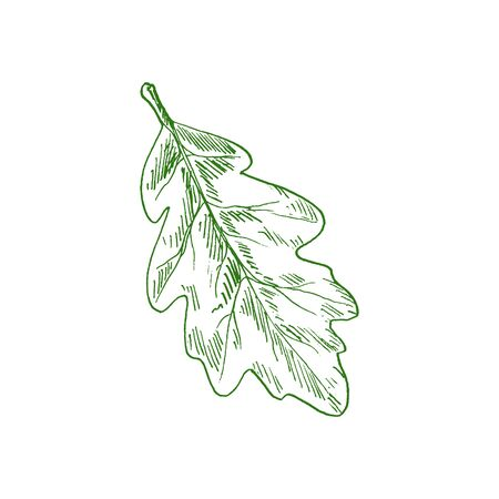 Oak tree leaf isolated sketch of acorn leafage. Vector green leafage, element of tree 矢量图像