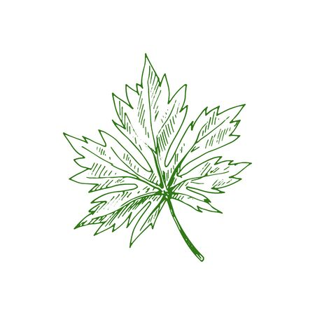 Horsechestnut Buckeye green leaf isolated sketch. Vector green spring or summer foliage 矢量图像