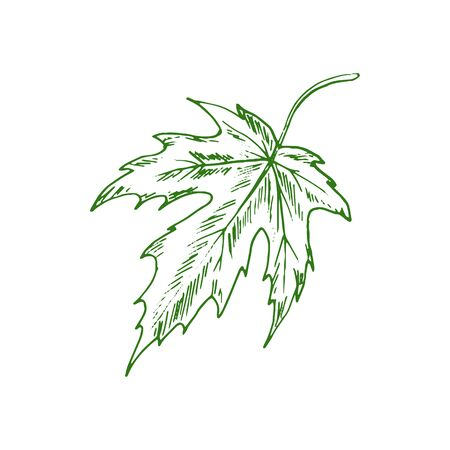 Acer or maple leaf isolated eco plant sketch. Vector green organic plant element 일러스트