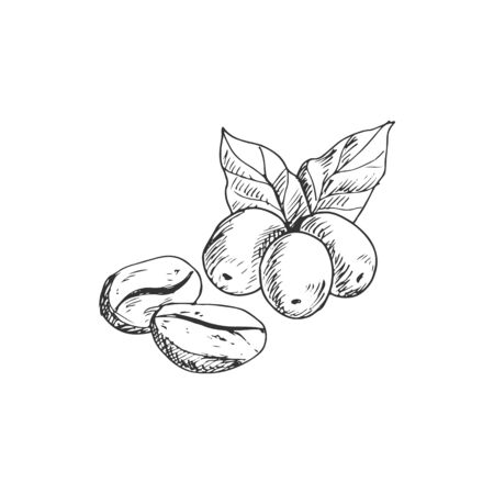 Arabica coffee beans with leaves isolated monochrome sketch. Vector whole seeds, roasted berries