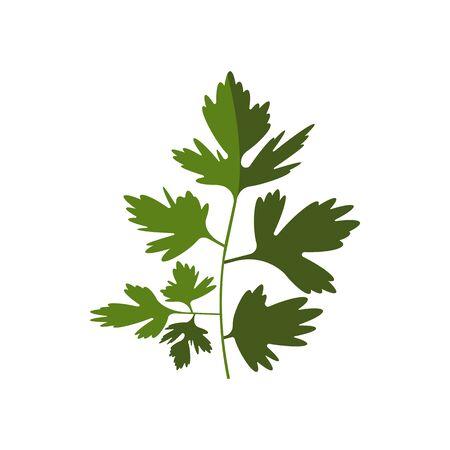 Grüner Koriander oder Koriander isoliertes Küchenkraut. Vektor chinesische Petersilie einjährige Pflanze Vektorgrafik