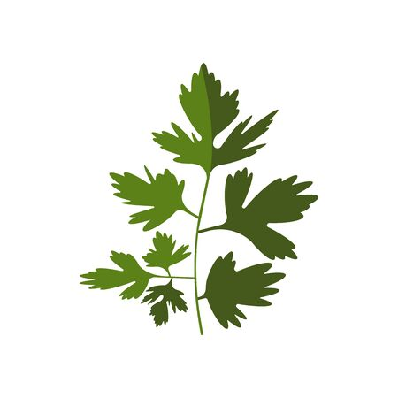 Green coriander or cilantro isolated kitchen herb. Vector chinese parsley annual plant