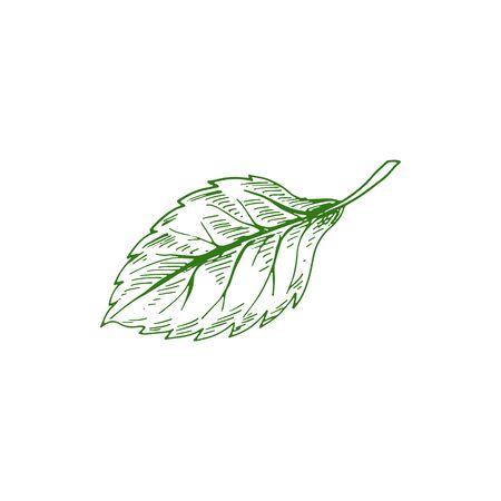 Aspen or elm, alder leaf isolated hand drawn sketch. Vector green foliage, birch tree leafage Illustration