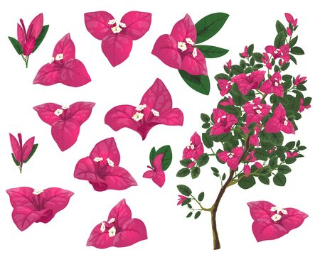 Bougainville plant of Mexico, isolated vector bougainvillea branch, pink flowers and green leaves. Exotic Mexican blossoms, evergreen plant growing in Peru and South America, realistic 3d icons set Ilustrace