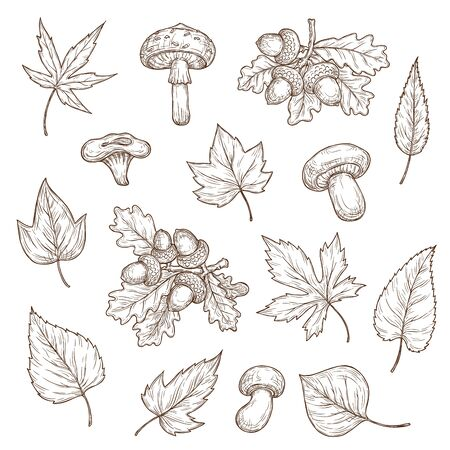 Autumn leaves, mushrooms and acorns vector sketch icons. Maple, oak and willow, birch and ash, poplar autumn tree leaves fall foliage set. Cep, lump and agaric mushroom engraving hand drawn elements Vettoriali
