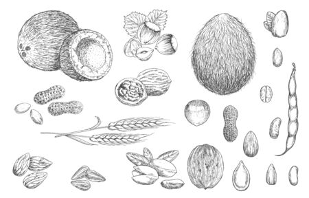 Nuts, beans and cereal seeds vector sketches. Coconut, hazelnut and peanut, walnut in shell, pistachio and almond, pumpkin and sunflower seeds, coffee, bean pod and wheat ear isolated sketch object Ilustração