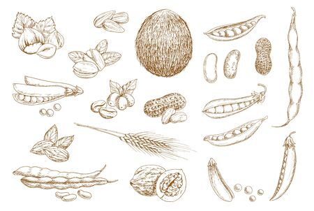 Nuts, beans and legumes vector sketch. Shelled pistachio nuts, beans and pea pod, hazelnut, peanut and walnut in shell, coffee berry, coconut and sunflower seed, almond, wheat ear hand drawn sketch
