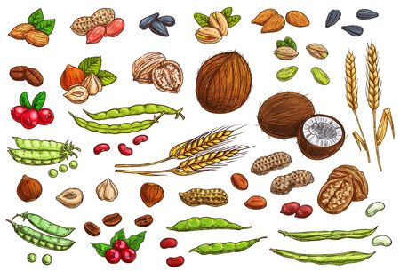 Nuts, beans, legumes and cereal crop vector sketches. Hand drawn almond nut, peanut, beans and pea pods, coconut, walnut and hazelnut, pistachio and sunflower seeds, coffee bean and berry, wheat ear