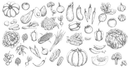 Vegetables, farm food vector isolated sketches. Tomato and pepper, carrot and cabbage, onion, garlic, chilli and broccoli, cucumber, pea and pumpkin, mushroom and radish, eggplant, olives and avocado