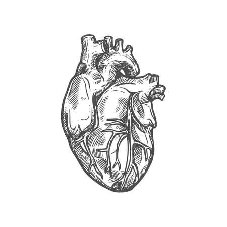 Heart sketch icon, cardiovascular system isolated vector. Blood circulation, human anatomy Ilustración de vector
