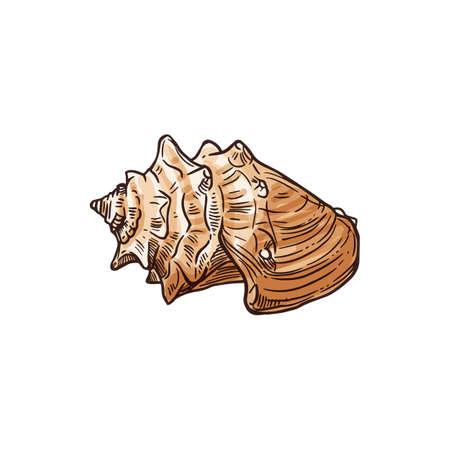 Florida fighting conch isolated Strombus alatus sketch. Ve tor sea snail, marine gastropod mollusk Vetores