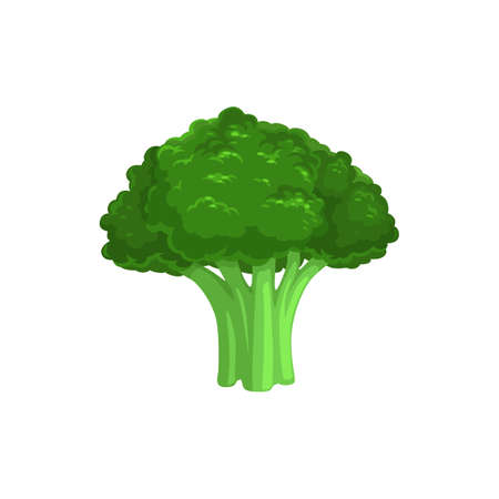 Broccoli edible cabbage isolated vegetarian food. Vector Brassica oleracea, organic raw veggies, uncooked broccolo. flowering head and stalk eaten as vegetable, ripe greens realistic design