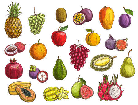 Fruit and berry vector sketches with isolated exotic and garden food. Mango, papaya, grapes and apple, orange, pear, plum and durian, peach, fig, kiwi and avocado, carambola, feijoa and mangosteen