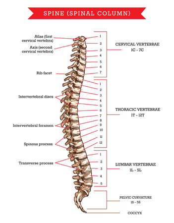 Human spine bones anatomy, vector sketch of skeleton backbone or vertebral column. Cervical, thoracic and lumbar vertebrae, pelvic curvature and coccyx, rib facet, intervertebral discs and foramen