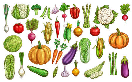 Farm vegetables and greenery color sketches set. Pumpkin, carrot and beetroot, eggplant, Chinese cabbage and onion, zucchini, asparagus and cauliflower, tomato, radish and pea, garlic, pepper vector Vetores