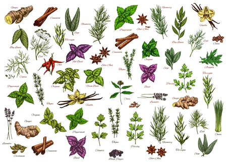 Spices, herbs, seasonings vector ginger, cinnamon and bay leaves, dill, rosemary or sage. Tarragon, basil and chili, peppermint, thyme with oregano. Lavender, cardamon and vanilla herbal ingredients 向量圖像