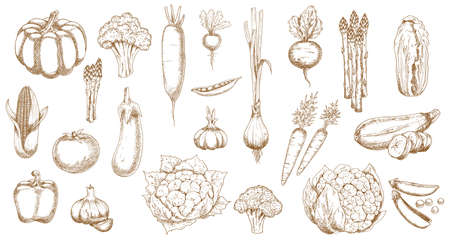 Fresh farm vegetable vector sketches of garden veggie food. Isolated tomato, carrot, broccoli and cabbage, pepper, onion, garlic, radish and cauliflower, zucchini, corn, pea and pumpkin objects