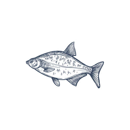 Bream species of freshwater and marine fish isolated monochrome sketch. Vector Abramis, gilt head bream Sparus aurata saltwater fish. Orata or Dorada fish of bream family Sparidae, underwater animal