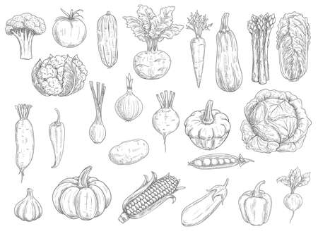 Farm vegetables vector sketches. Cauliflower, tomato and broccoli, bell pepper and beet, radish and bean, corn and garlic, asparagus, zucchini and pumpkin, carrot and cabbage isolated vegetables icons
