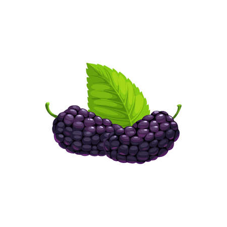 Ripe mulberry black fruits with leaf isolated flat realistic icon. Vector mulberry berries, food from farm garden and wild forest. Mulberries ripe harvest for jam or organic natural desserts Vector Illustratie
