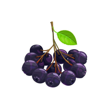 Chokeberry branch with leaves isolated realistic icon. Vector melanocarpa autumn harvest berries, plant food products. Sour aronia black chokeberry fruits, food from farm garden and wild forest