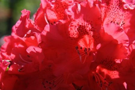 Red Rhododendron Banco de Imagens