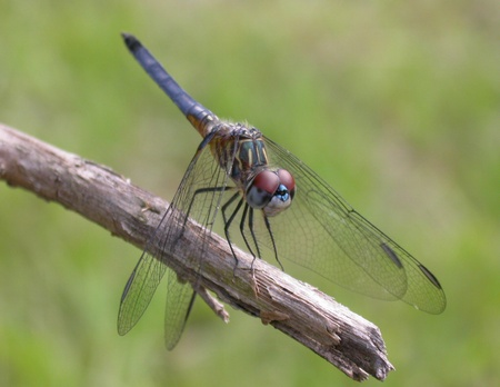 A Florida Dragonfly resting on a tree branch.  photo