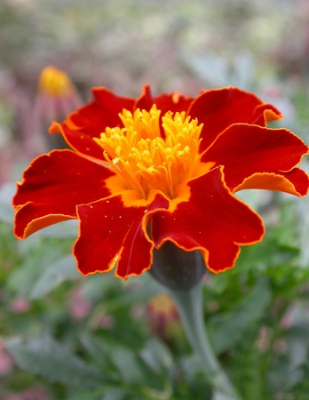 Macro Of A Vibrant Marigold Stock Photo - 9481861